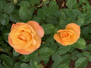 sister roses that are not identical